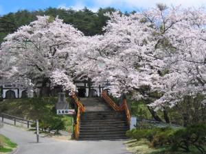 060508_福泉寺の桜4