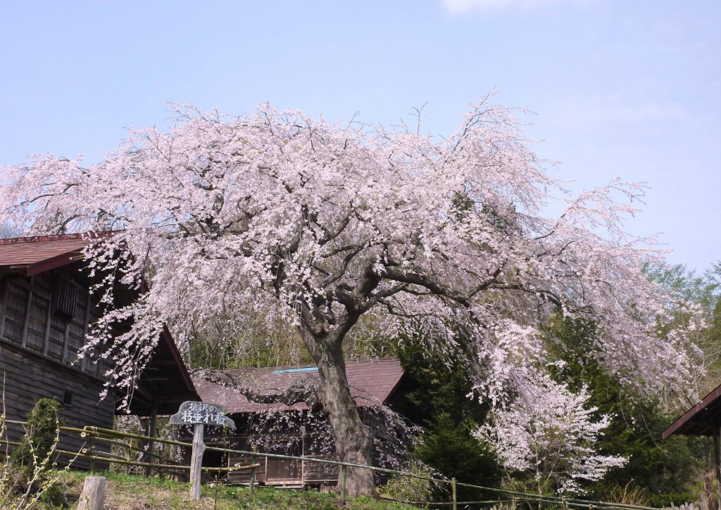 うつぎ沢のしだれ桜(五戸)