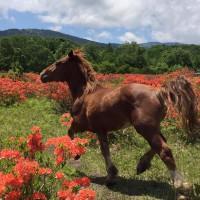 レンゲツツジと馬