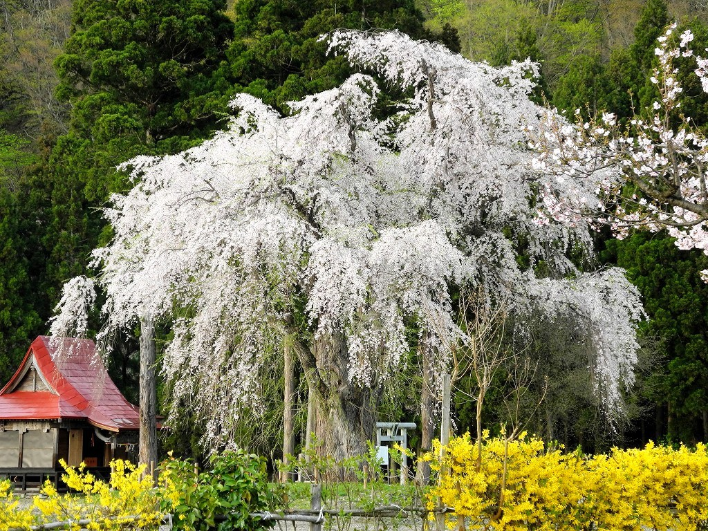 おしら様の枝垂れ桜①