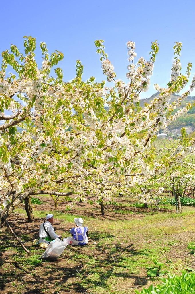 リンゴ畑(C)二戸市観光協会 (3)