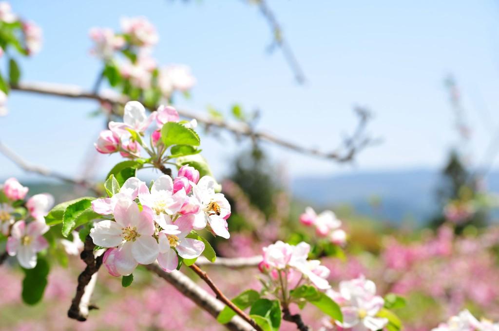 リンゴ畑(C)二戸市観光協会 (2)
